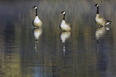 Photograph - Canada Geese 0641-010819 by Tam Ryan