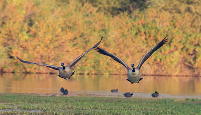 Photograph - Canada Geese 2793-120218-1cr by Tam Ryan