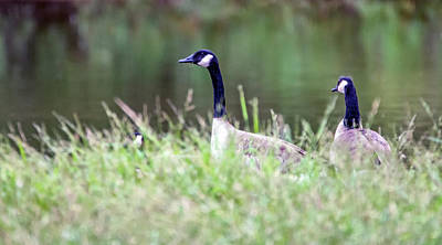 Photograph - Canada Geese 3957-101218-1cr by Tam Ryan