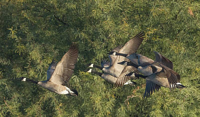 Photograph - Canada Geese 3979-120915-2cr by Tam Ryan