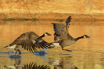 Photograph - Canada Geese 5465-121618-1 by Tam Ryan