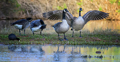 Photograph - Canada Geese And American Coot 0147-111618-1cr by Tam Ryan