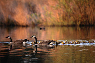 Animal Family Photograph - Canada Geese Branta Canadensis With by Art Wolfe