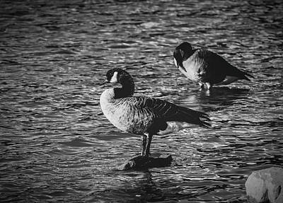 Photograph - Canada Geese Bw by Keith Smith