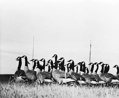 Photograph - Canada Geese by Evans