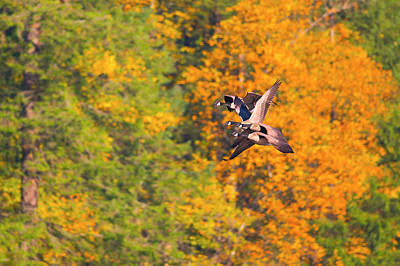 Photograph - Canada Geese In The Fall by Sharon Talson