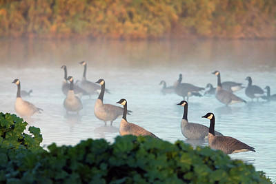 Photograph - Canada Geese In The Mist 7730-122618-1 by Tam Ryan