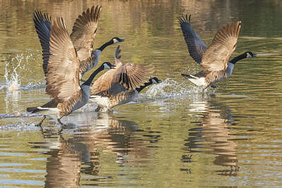 Photograph - Canada Geese Liftoff 4982-121418-1 by Tam Ryan