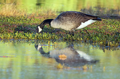 Photograph - Canada Goose 1346-111918-1cr by Tam Ryan