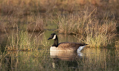 Photograph - Canada Goose 2810-120218-1cr by Tam Ryan