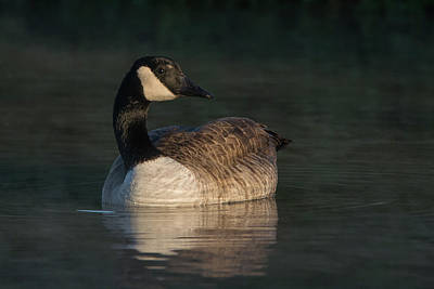 Photograph - Canada Goose 8582-122818-1 by Tam Ryan