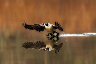 Photograph - Canada Goose Coming In For Landing by Dan Friend