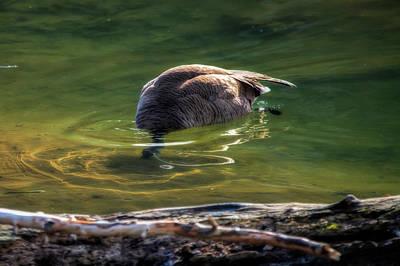 Photograph - Canada Goose Feeding Under Clear Water by Dan Friend