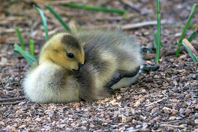 Photograph - Canada Goose Gosling 7312-041519 by Tam Ryan