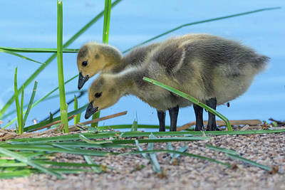 Photograph - Canada Goose Goslings 7281-041519 by Tam Ryan
