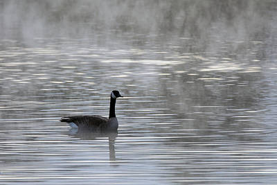 Photograph - Canada Goose In The Mist 9955-010519 by Tam Ryan