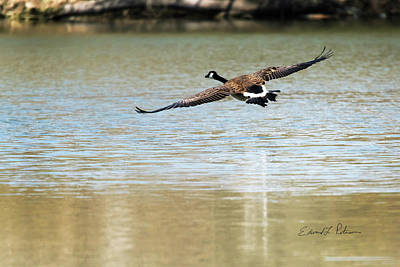 Photograph - Canada Goose Landing by Edward Peterson