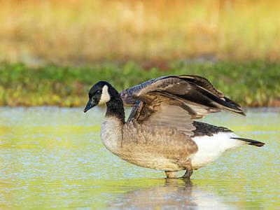 Photograph - Canada Goose Stretch 1607-112018-1cr by Tam Ryan