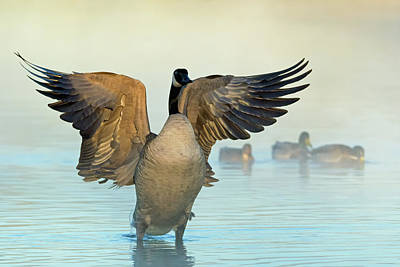 Photograph - Canada Goose Wings 6236-121818-1 by Tam Ryan
