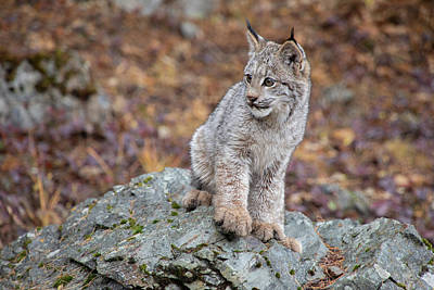 Photograph - Canada Lynx Kitten  7631 By Tl Wilson Photography by Teresa Wilson
