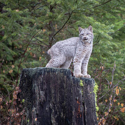 Photograph - Canada Lynx Kitten On A Tree Stump By Tl Wilson Photography by Teresa Wilson