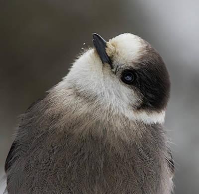 Photograph - Canada's National Bird by Mircea Costina Photography