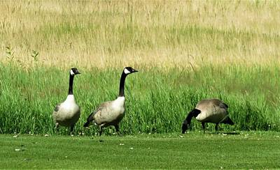 Wall Art - Photograph - Canadian Geese 3s Company1  by Joan Stratton