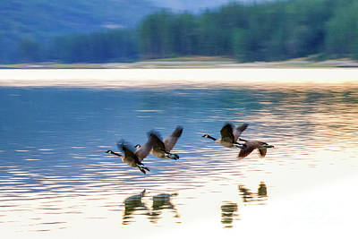 Photograph - Canadian Geese by Anthony Michael Bonafede