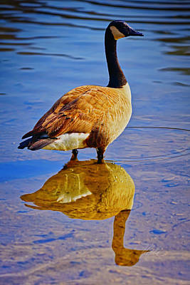 Photograph - Canadian Goose by Meta Gatschenberger