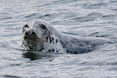 Photograph - Canadian Seal Swimming by Tatiana Travelways