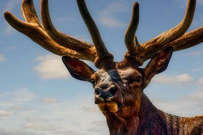 Photograph - Canadian Wapiti by Bryan Smith