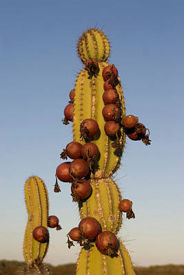 Photograph - Candelabra Cactus by David Hosking
