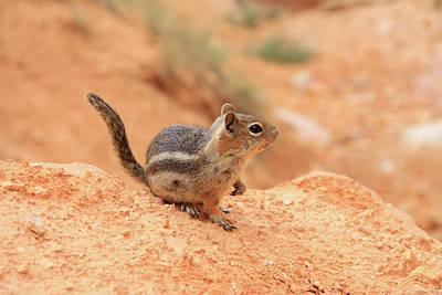 Photograph - Canyon Chipmunk by Dawn Richards