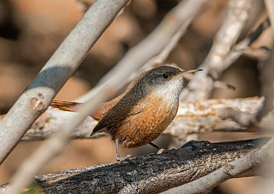 Photograph - Canyon Wren by Loree Johnson