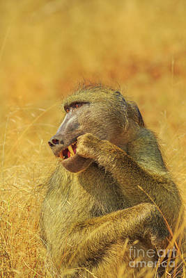 Photograph - Cape Baboon South Africa by Benny Marty