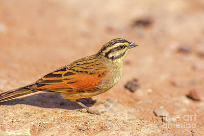 Photograph - Cape Bunting Bird by Benny Marty
