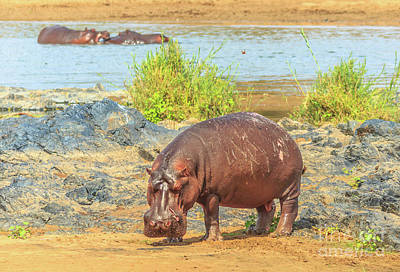 Photograph - Cape Hippopotamus Kruger by Benny Marty