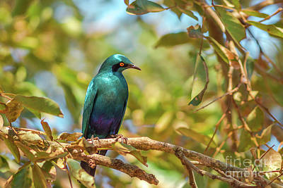 Photograph - Cape Starling In Kruger National Park by Benny Marty