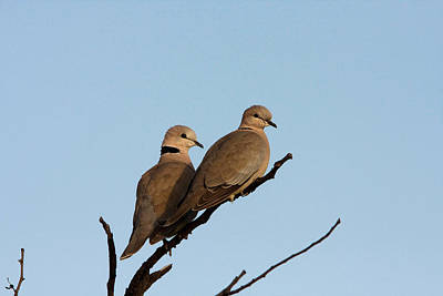 Photograph - Cape Turtle Doves by David Hosking