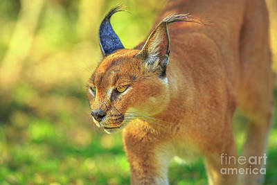 Photograph - Caracal South Africa by Benny Marty