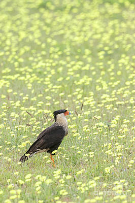 Photograph - Caracara And Dandelions by David Cutts