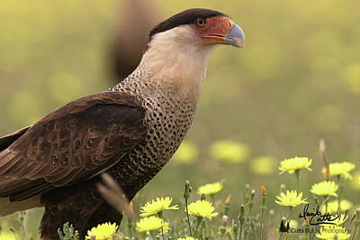 Photograph - Caracara In Wildflowers by David Cutts