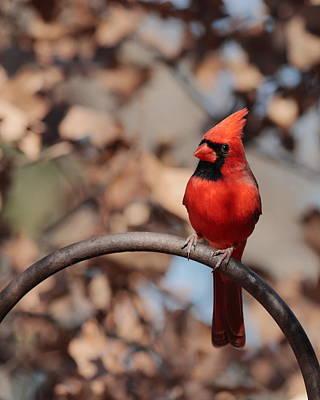 Photograph - Cardinal 4033 by John Moyer