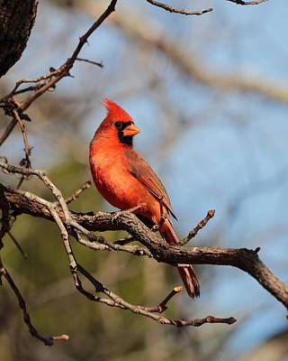 Photograph - Cardinal 4211 by John Moyer