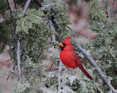 Photograph - Cardinal 4667 by John Moyer