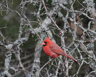 Photograph - Cardinal 5209 by John Moyer