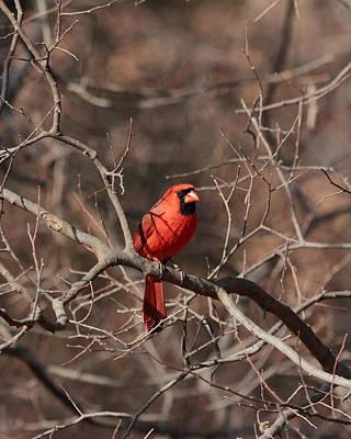 Photograph - Cardinal 5283 by John Moyer