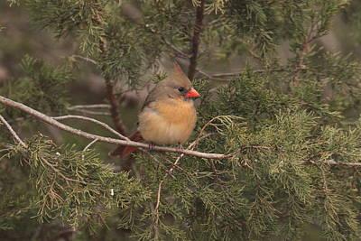Photograph - Cardinal 6034 by John Moyer