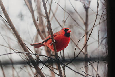 Photograph - Cardinal In My Window by Amber Flowers