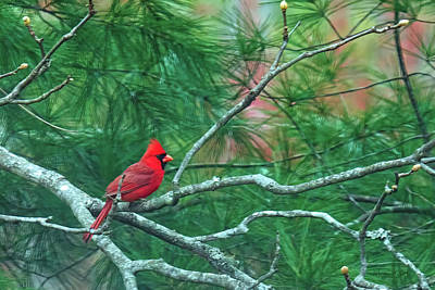 Photograph - Cardinal In Tulip Poplar by Bellesouth Studio